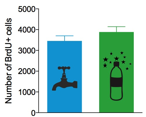 Figure 3: If you're dying to increase neurogenesis, don't stress out over your water. While rats that drank Happy Water has 12% more BrdU+ cells, this difference was not significant (P=0.25).