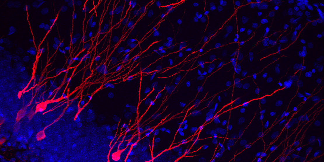 Neurons born in the infant brain